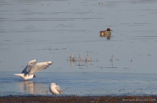 gulls and teal