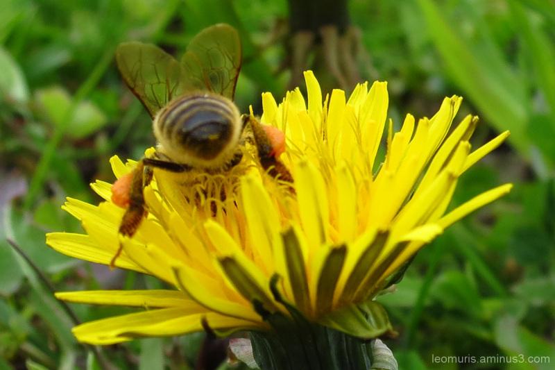 dandelion, bee