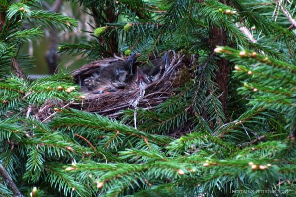 chikcs in nest