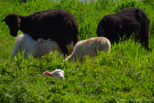 lambs