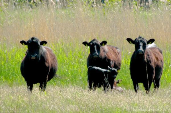 Few cows