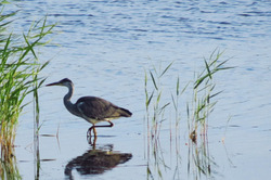 lonely heron