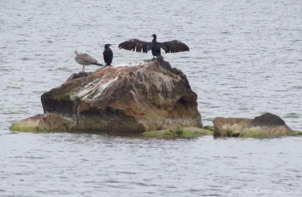 cormorants, gulls,