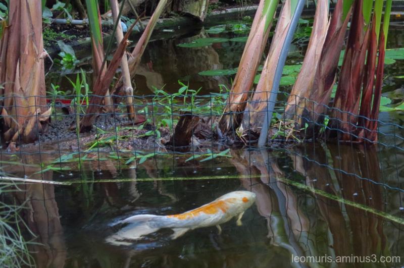 carp in garden