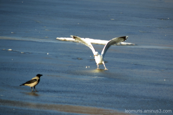 crow and gull