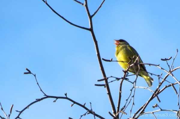 Greenfinch,