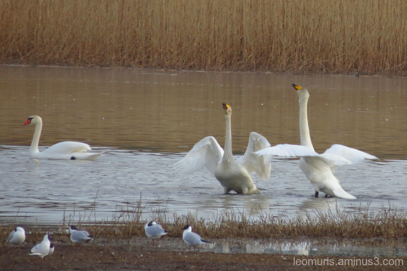Dancing swans