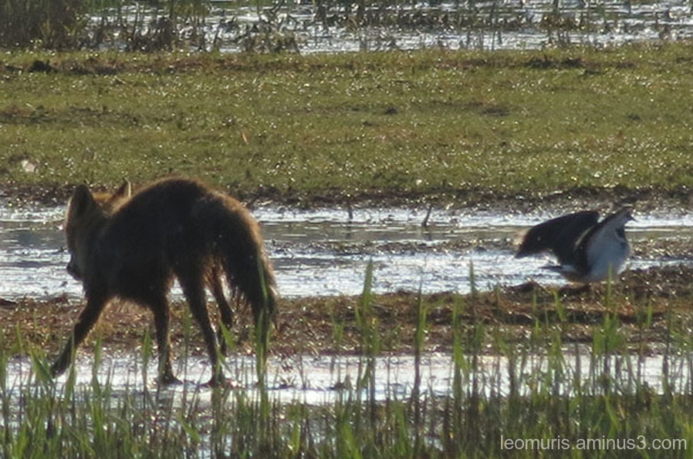 fox and lapwing