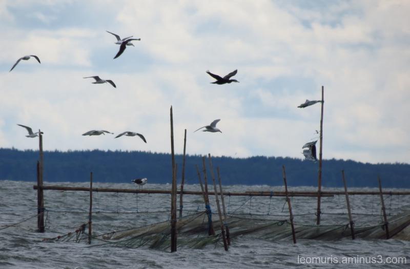 gulls and cormorant