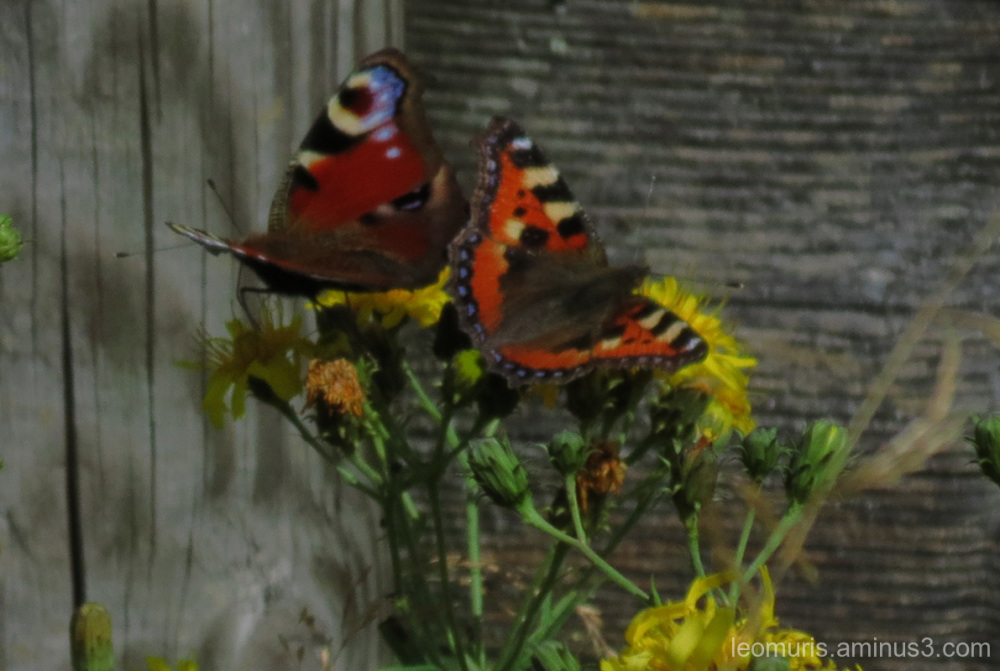 Two butterflies