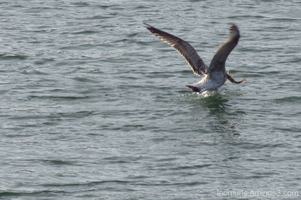 Seagull and catch