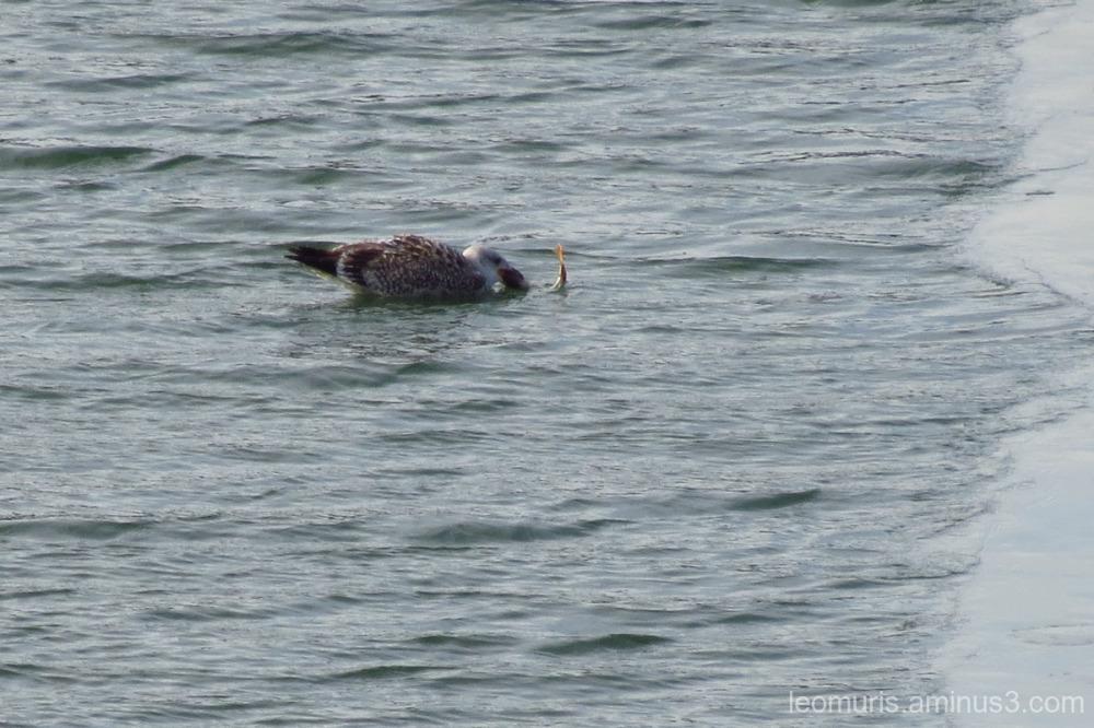 seagull eats
