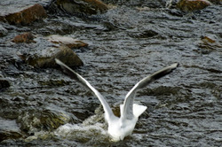 The gull is diving