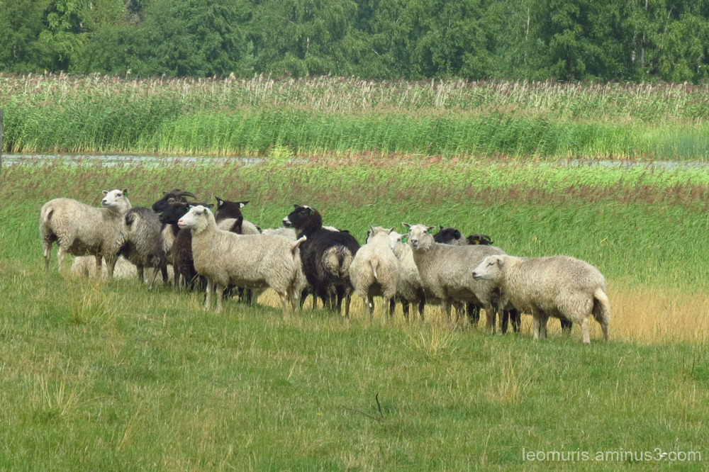flock on the pasture