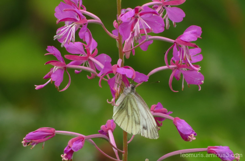 Rosebay Willowherb and butterfly