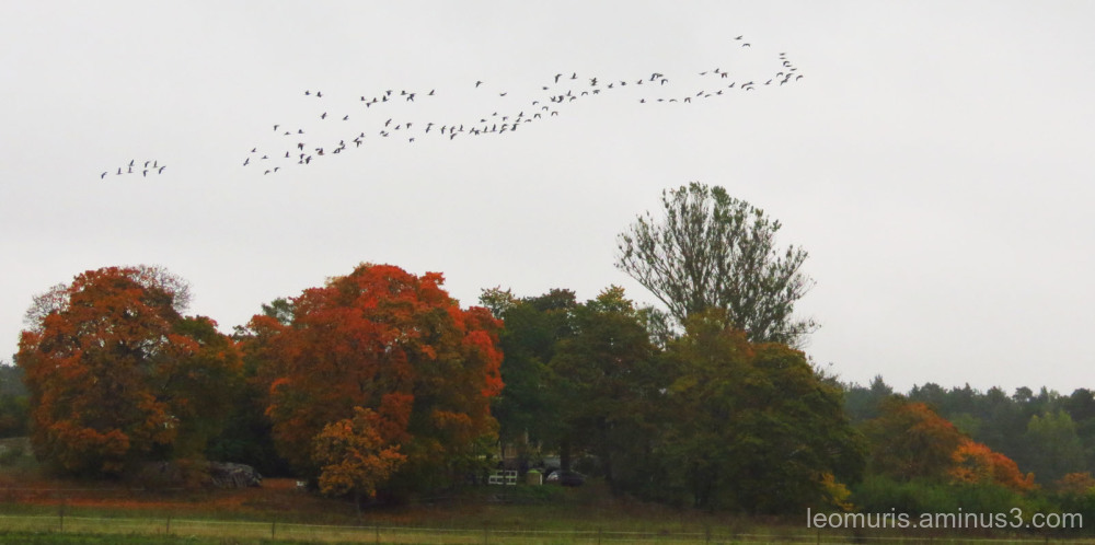 geese and cloudy day