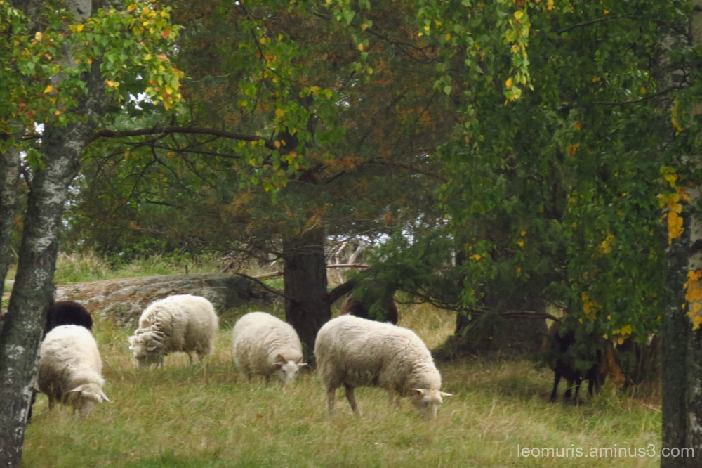 Flock, sheep, autumn