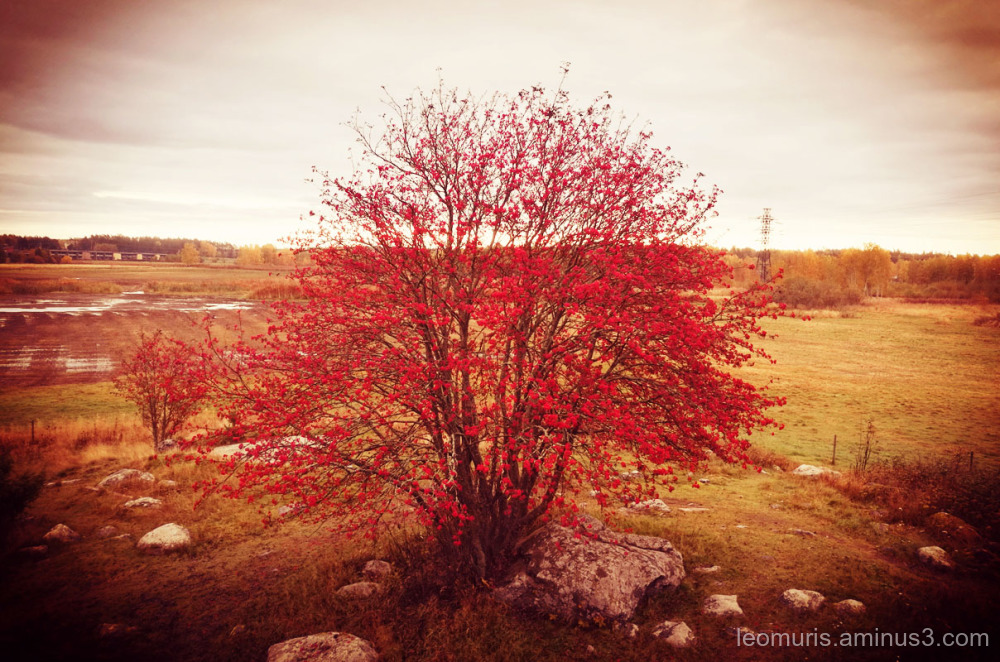 Tree and red bverries