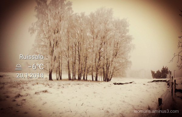 birch, snow and misty