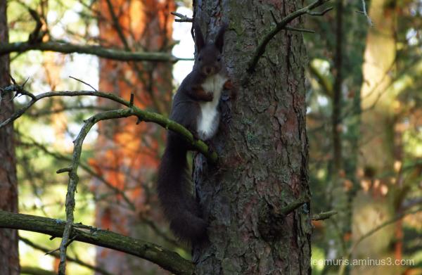 dark squirrel