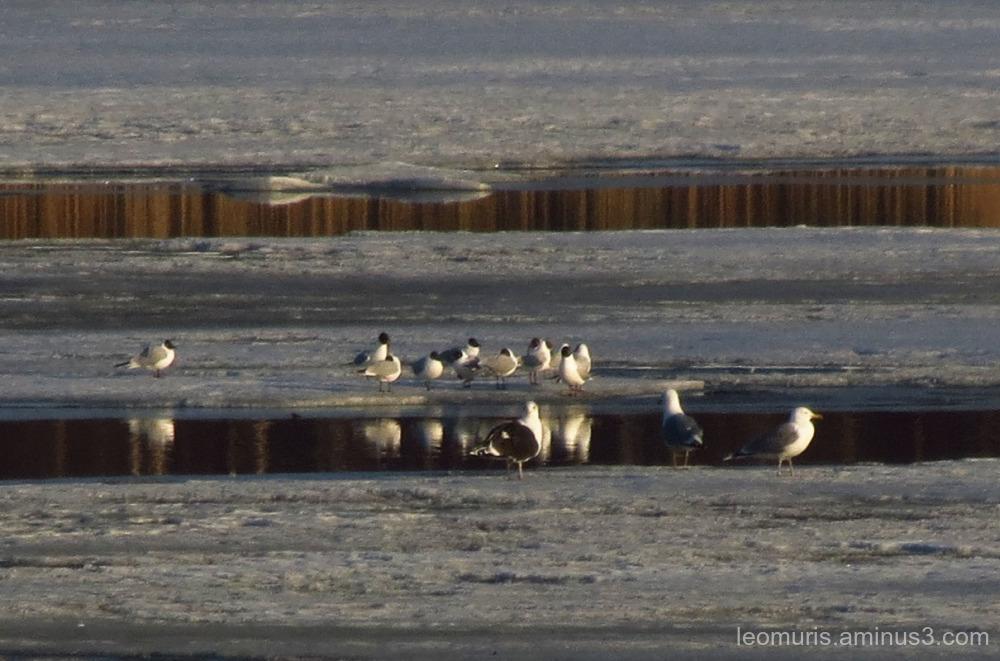 many gulls