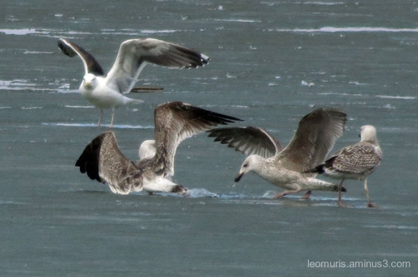 gulls, on ice