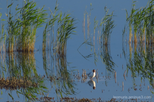 Gull and reeds
