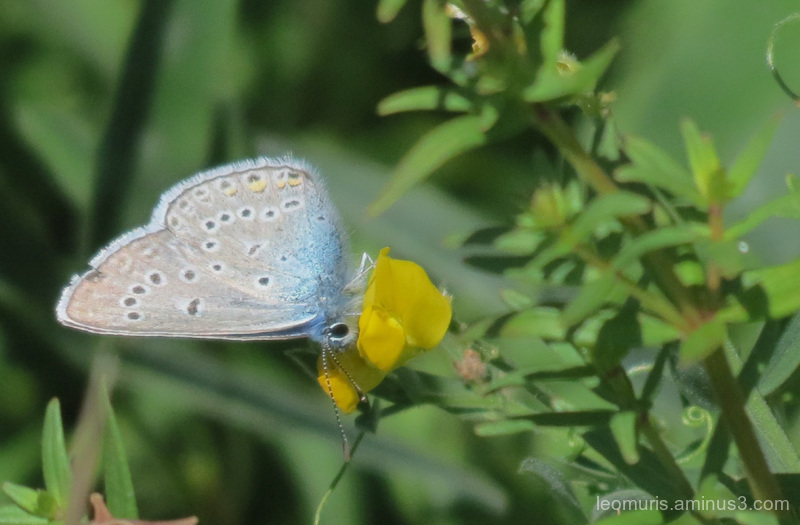 Blue small butterfly