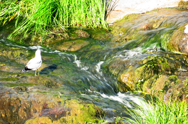 Gull and running water