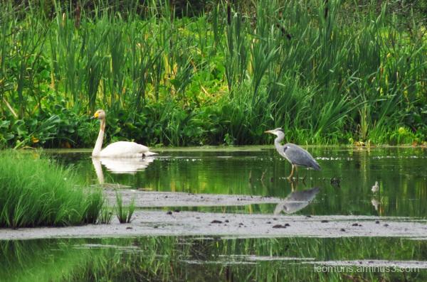 heron and swan