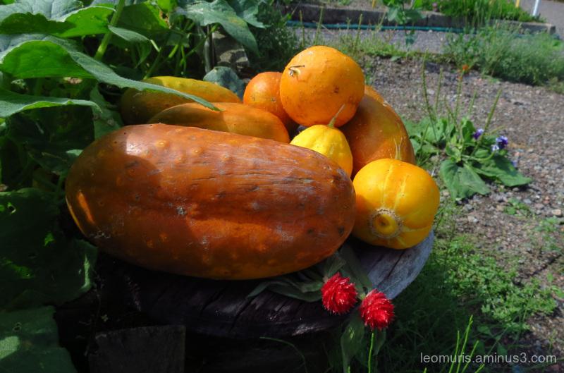 pumpkins and reds