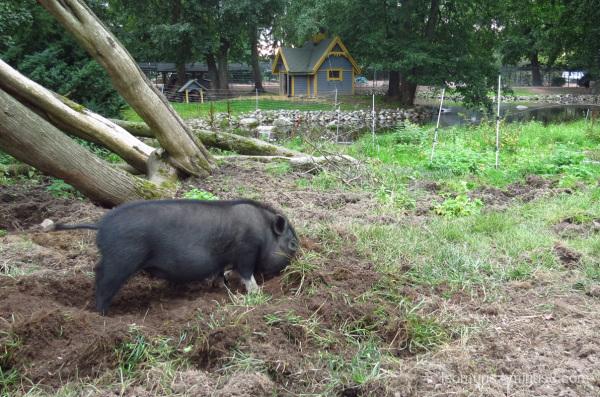 Digging pig