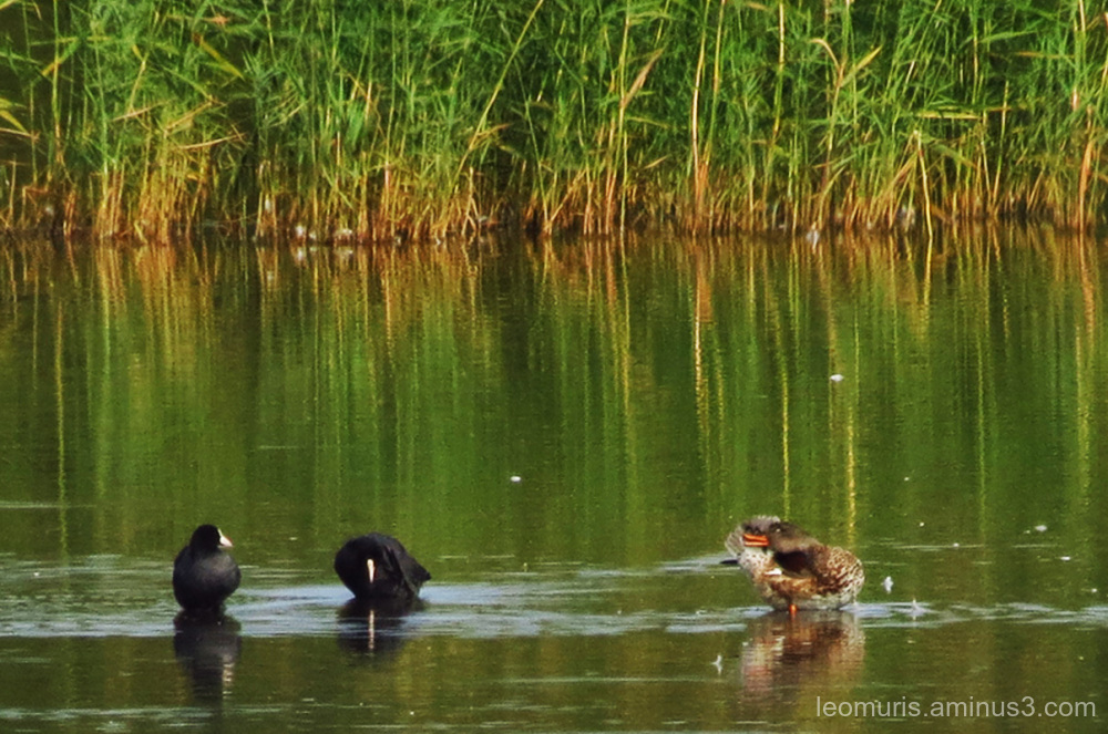 duck and coots