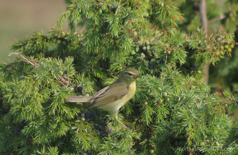 bird in juniper
