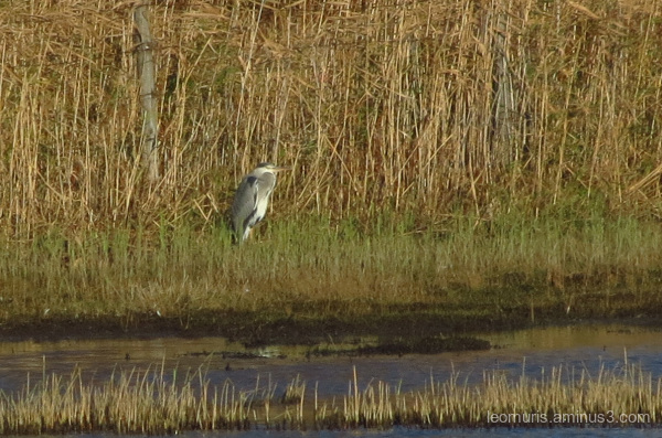 Last heron