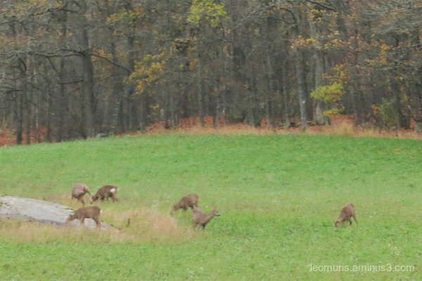 deers in pasture