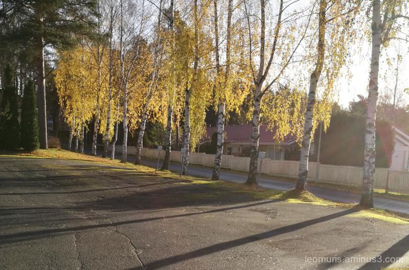 Birches in backlight