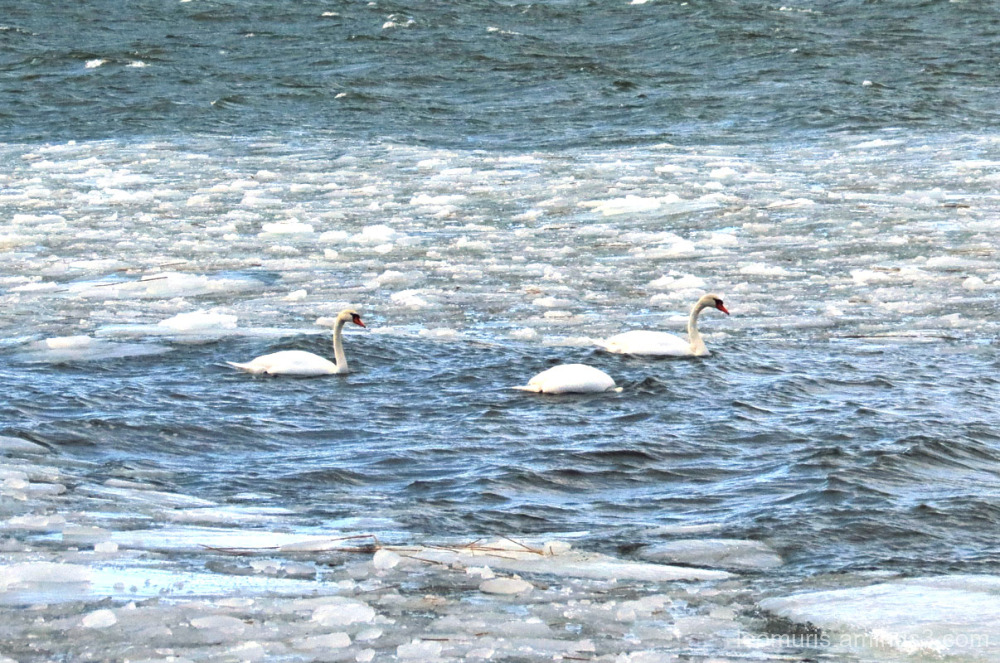 Three swans