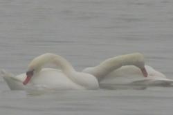 Twi swans