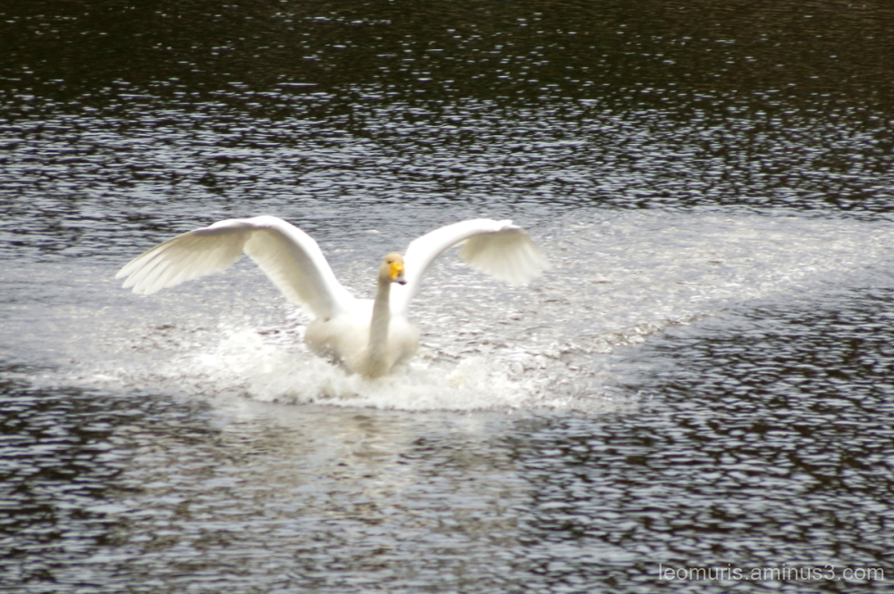 swan is landing