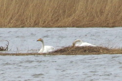 Two swans and their nest