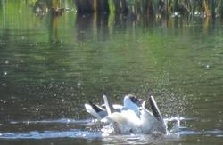 Twi gulls are splashing...