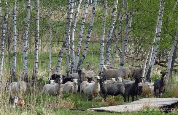 Vry many sheep