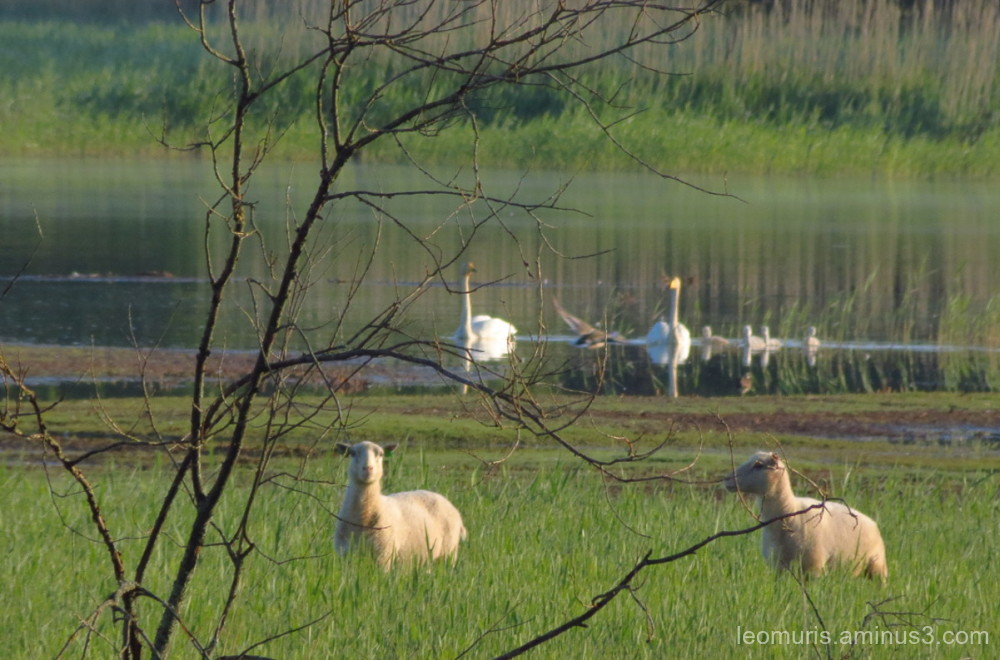 sheep and swans....