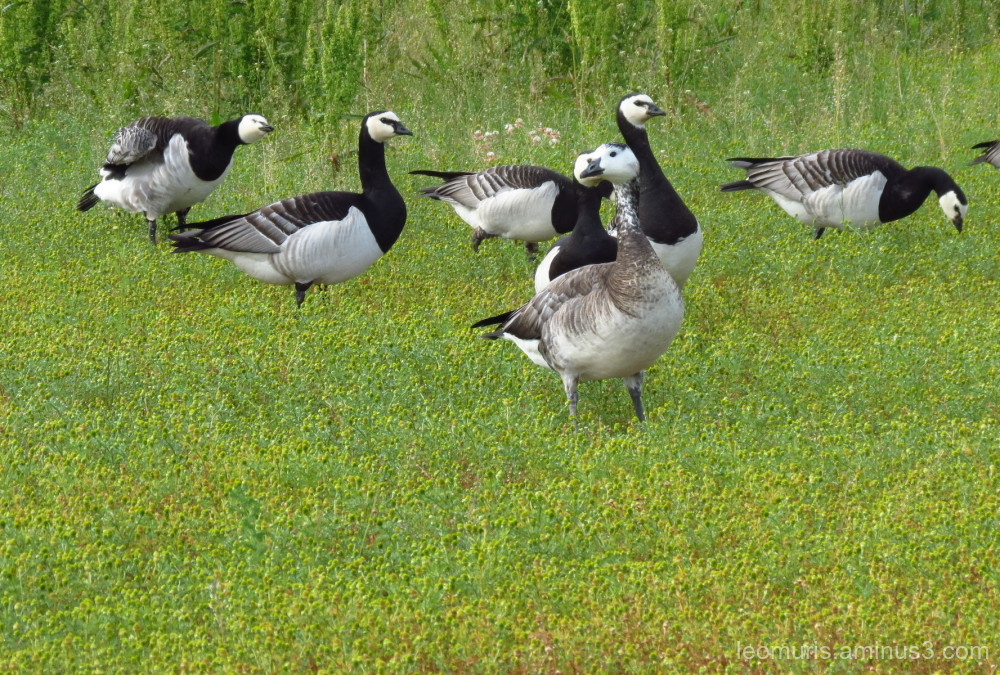 Different geese