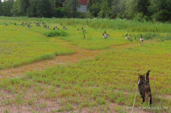 Leevi and geese