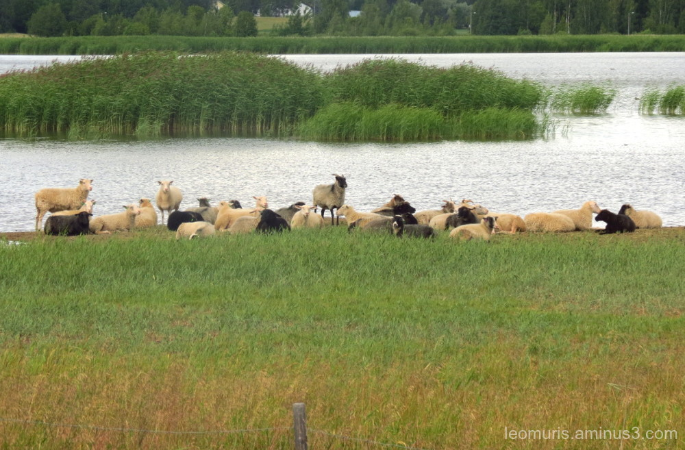 Sheep in the summer