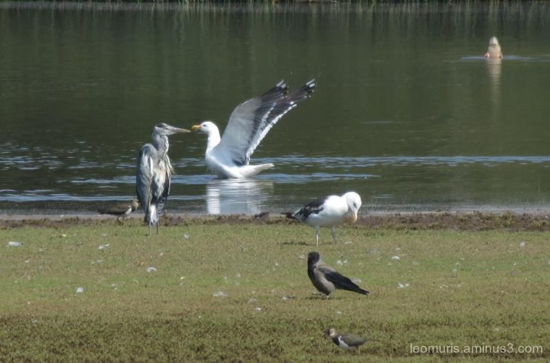 heron and gull