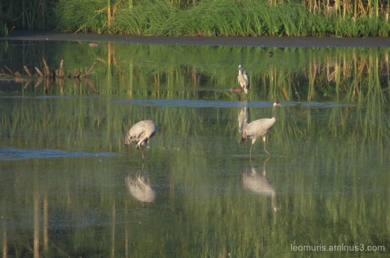 cranes, heron, reflections