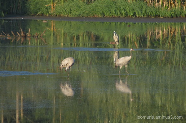 cranes, heron, reflections